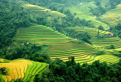 Rice fields on terrace in Sapa